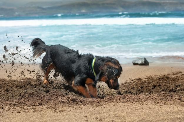 Cane che si diverte in estate scavando nella sabbia sulla riva della spiaggia.