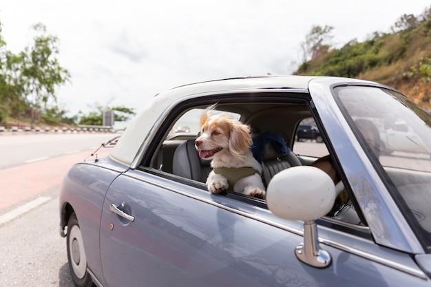 Cane che si gode un giro con il colore dell'auto d'epoca viola sulla strada