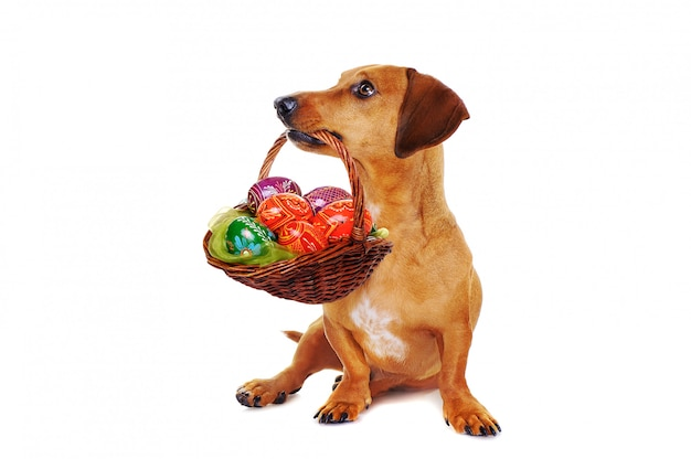 Cane che tiene il cestino di pasqua con le uova variopinte
