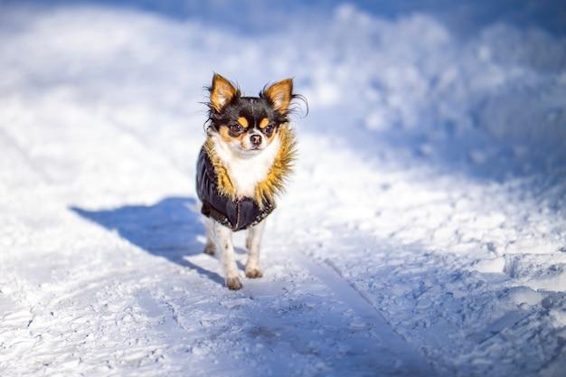 Cane con la giacca che cammina in inverno