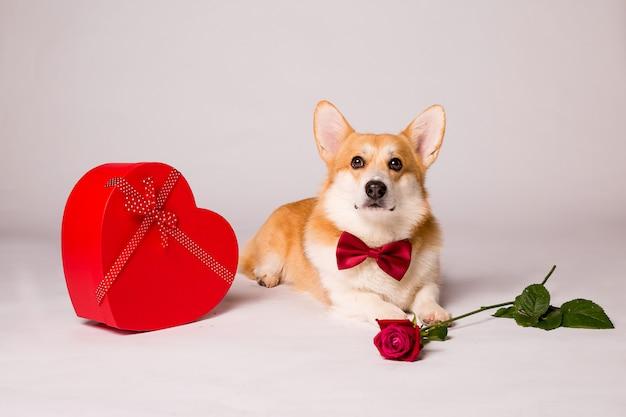 Cane corgi con una confezione regalo a forma di cuore rossa e una rosa rossa su un muro bianco