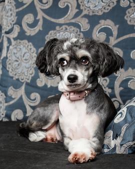 Cane crestato cinese che pone sul sofà