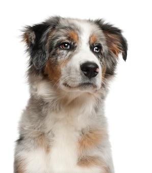Cane, cucciolo di pastore australiano seduto