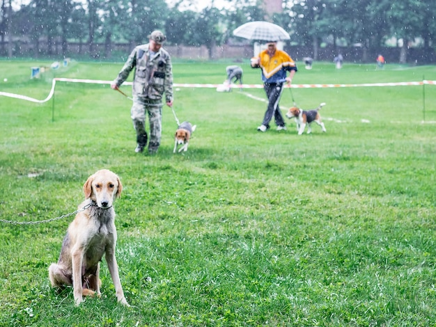 Cane da caccia di razze segugio inglese seduto sull'erba. cani che camminano