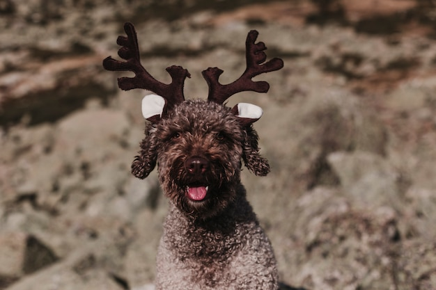 Cane da caccia in palude spagnolo marrone sveglio che si siede su una roccia che indossa i corni di una renna. concetto di autunno. all'aperto