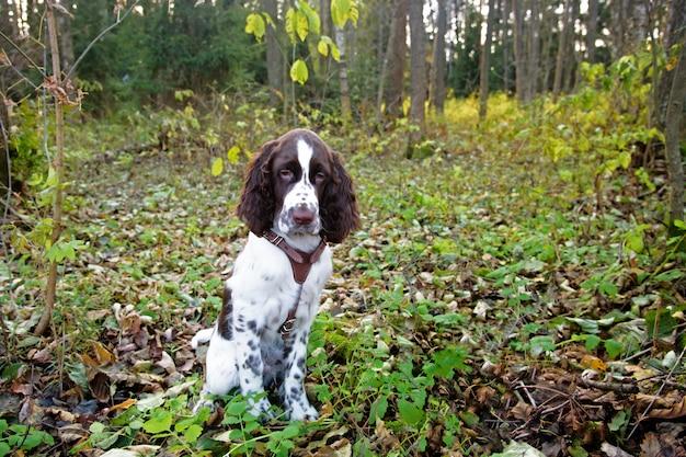 Cane da compagnia triste triste springer spaniel inglese seduto nel bosco.