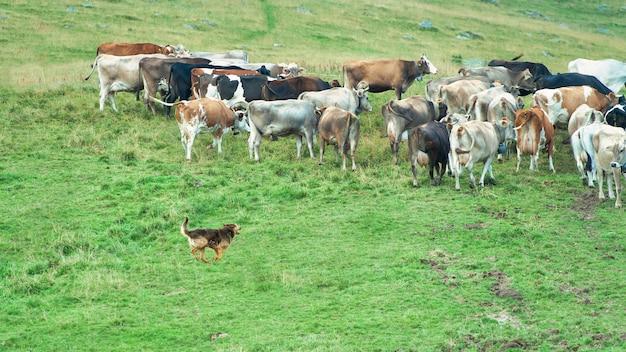 Cane da pastore in azione con un gruppo di mucche alpine