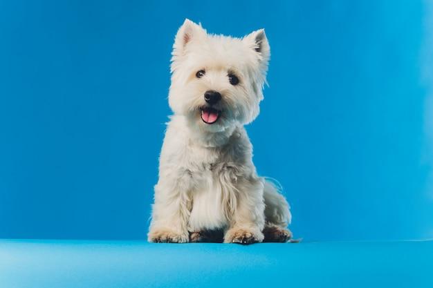 Cane da pastore maltese del ritratto piccolo cane bianco del ritratto del primo piano.