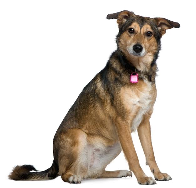 Cane da pastore misto, 3 anni, seduto di fronte al muro bianco