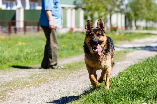 Cane da pastore tedesco adorabile all'aperto di estate