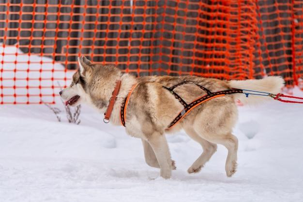 Cane da slitta husky in imbracatura