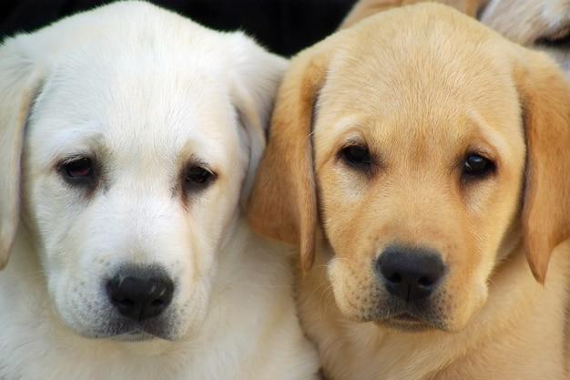 Cane dei cuccioli di labrador