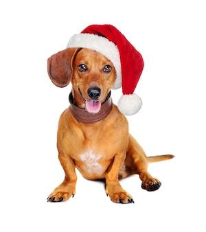 Cane del bassotto tedesco con un cappello di santa isolato su bianco