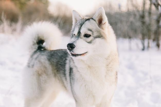 Cane del husky sul campo nevoso nella foresta di inverno. cane di razza