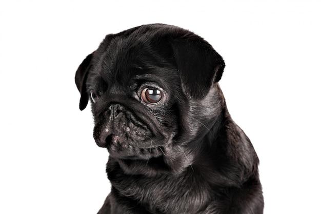 Cane del pug isolato