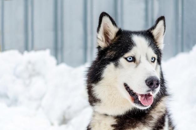 Cane del siberian husky con gli occhi azzurri. il cane husky ha il colore del mantello bianco e nero.