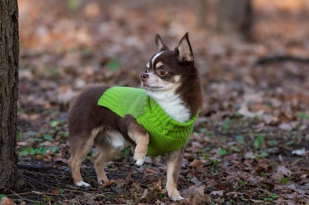 Cane della chihuahua sull'erba