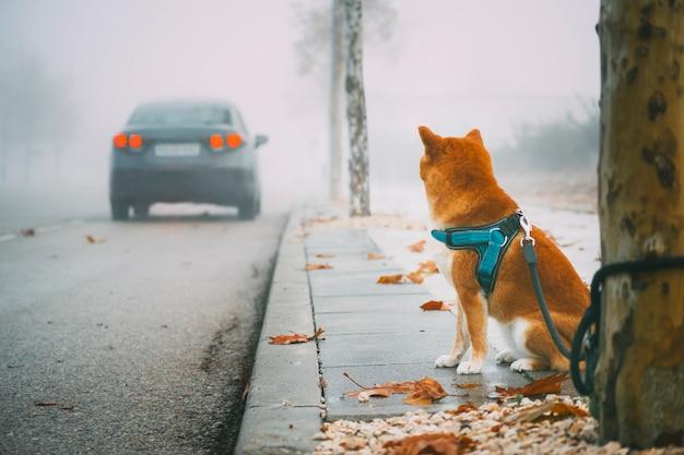 Cane della razza di shiba inu abbandonato sulla via