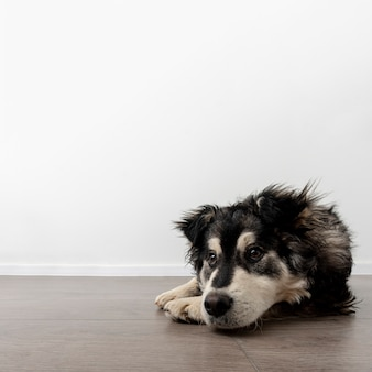 Cane dello copia-spazio a casa che si siede sul pavimento