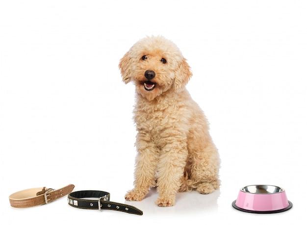 Cane di barboncino piacevole isolato su bianco