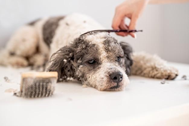 Cane di bichon frise che si fa tagliare i capelli dal battipista