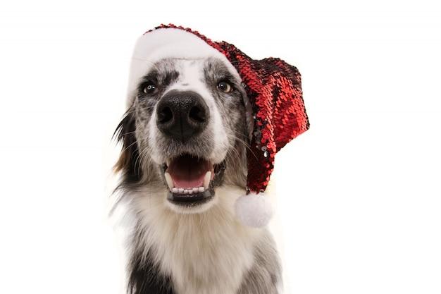 Cane di border collie che porta un cappello rosso del babbo natale per natale isolato su bianco