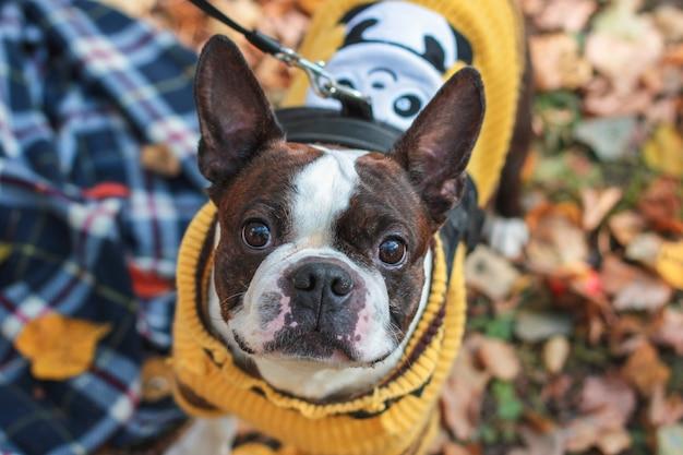 Cane di boston terrier che esamina la macchina fotografica nel parco di autunno