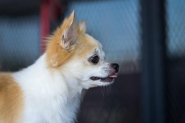 Cane di chihuahua capelli lunghi sul tavolo