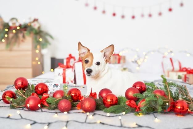 Cane di natale jack russell sul letto nell'arredamento di capodanno