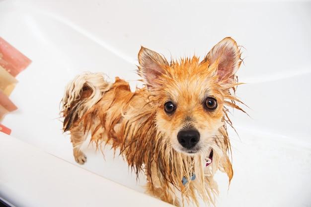 Cane di pomeranian nel bagno cane dello spitz nel processo di lavaggio con la fine dello sciampo su
