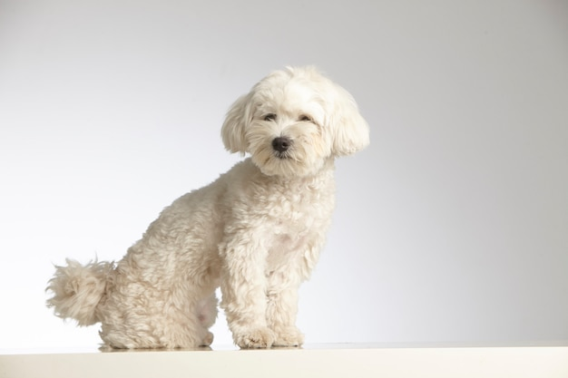 Cane di razza barboncino in miniatura