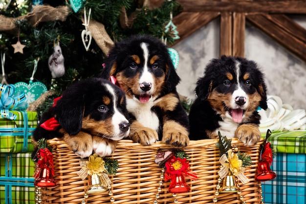 Cane di razza bernese mountain cucciolo, natale e capodanno