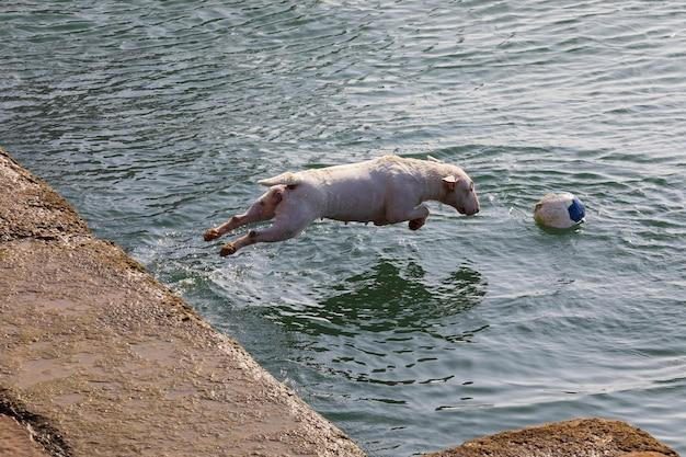 Cane di razza bull terrier in miniatura (sequenza diverse foto). capelli corti e bianchi (chiari). saltare per giocare in acqua (mare) con palla (palla) in giornata di sole.
