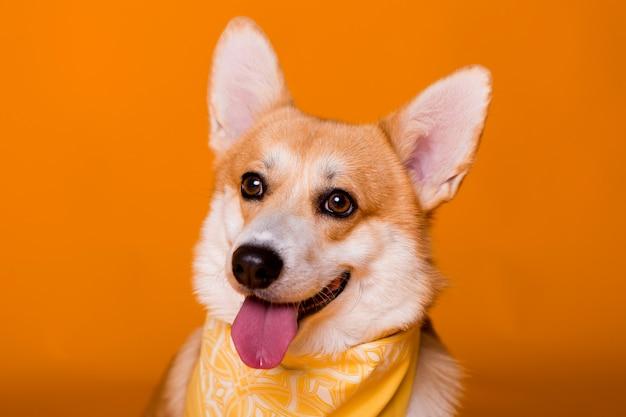 Cane di razza corgi in una bandana gialla sull'arancia