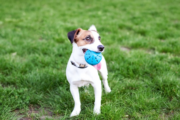 Cane di razza di jack russell terrier all'aperto sulla natura nell'erba. il cane tiene la palla in bocca. il cane felice jack russell gioca su una passeggiata nel parco con un giocattolo. il concetto di animali domestici. amicizia