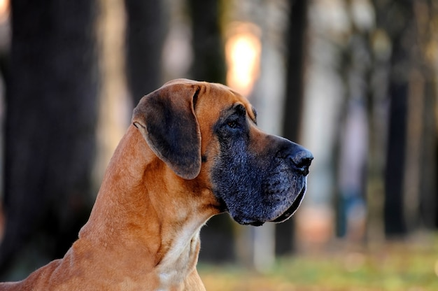 Cane di razza great dane