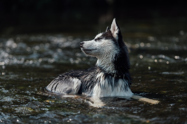 Cane di razza husky con occhi multicolori a causa dell'eterocromia.