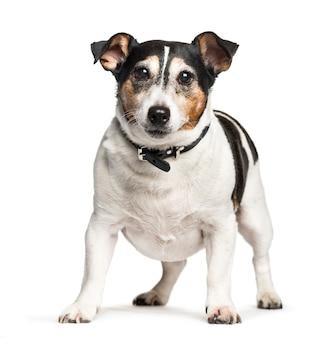Cane di razza mista che si siede contro il fondo bianco