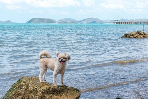 Cane di razza mista color beige molto carino con shih-tzu, pomeranian e poodle sulla spiaggia rocciosa