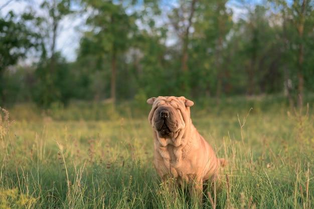Cane di razza shar pei seduto nella scatola, chiuse gli occhi dal sole e girò le orecchie. animale divertente. avvicinamento