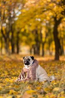Cane di una razza carlino avvolto in una sciarpa si trova in un parco in autunno su foglie gialle contro una di alberi