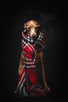 Cane divertente con sciarpa plaid rossa