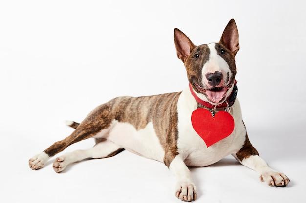 Cane divertente di bull terrier che si siede con il cuore di carta rosso e l'arco rosa nel giorno di s. valentino.