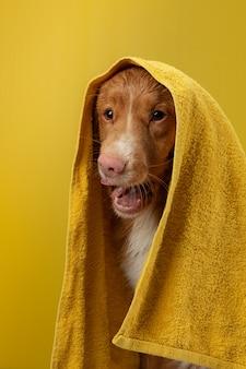 Cane dopo la doccia in un asciugamano