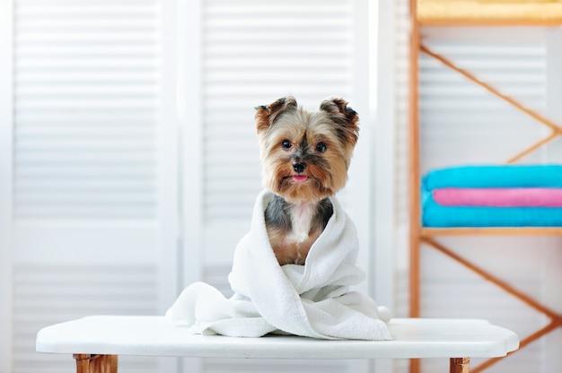 Cane felice dell'yorkshire terrier dopo il bagno