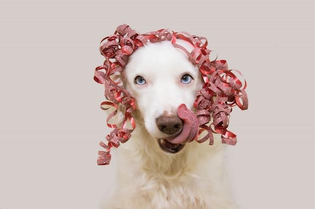 Cane felice presente per natale, compleanno o anniversario, indossando un nastro di compagno rosso sulla testa. collegando la lingua. isolato contro il muro bianco.