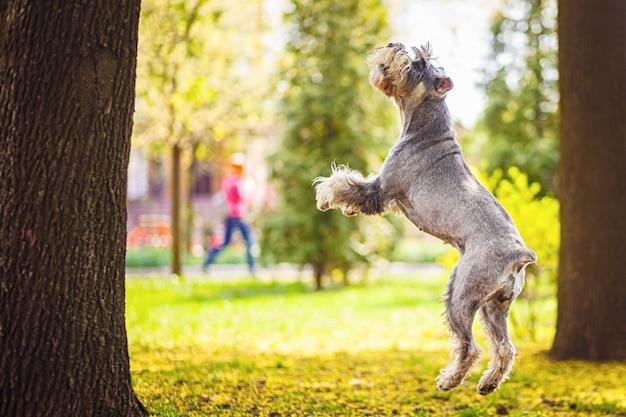 Cane gigante felice, sveglio, divertente schnauzer, animale domestico che cammina in un parco di estate