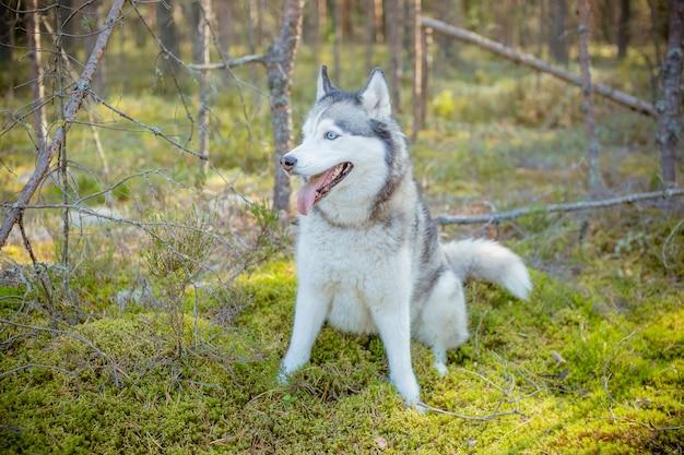 Cane husky siberiano con gli occhi azzurri si leva in piedi e guarda avanti