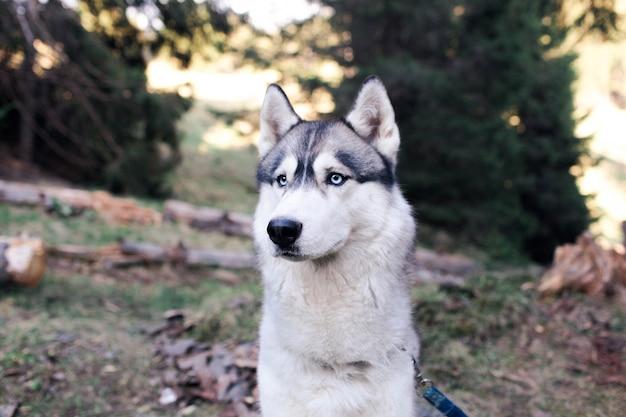 Cane husky