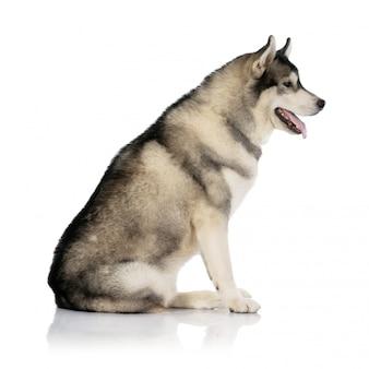 Cane in bianco e nero del husky siberiano su bianco